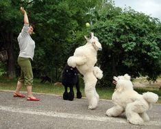 Flying Poodles - Poodles in Scandinavia
