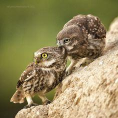 """*** by Tat'yana Zherebtsova; tagged """"little owl"""""""