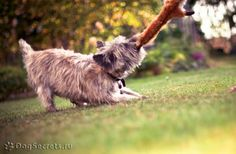 cairn terrier tugs