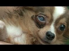 Currently all over America, poor puppies are being held captive in small metal cages. They are barely fed and disease spreads easily among the puppies. Then they are sold all around the country from a car on the side of the highway or from. These puppies are bought by unsuspecting owners who have no...