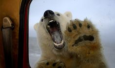 A polar bear is shown baring its teeth at truck window in Alaska