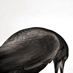 feather pattern for crow