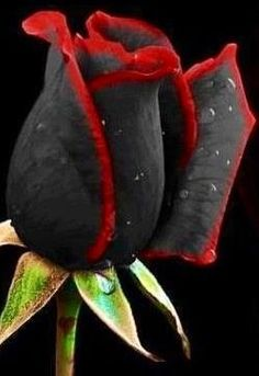 ✯ Black and Red Rose..........This is beautiful