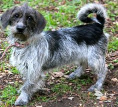 This is Callie who is our adorable 15 pound Doxie/Terrier mix rescue.  She is very sweet and gets along with other dogs.  She just loves people. She is crate trained.  She is spayed, current on vaccinations, and microchipped.  We will be provide...