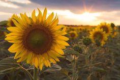 Dandelion, Facebook, Flowers, Plants, Dandelions, Plant, Taraxacum Officinale, Royal Icing Flowers, Flower