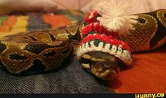 Pictures of cute snakes with hats that will make your day brighter. Not only that, you will know what is the best small pet snakes for beginner. Snakes With Hats, Kinds Of Snakes, Baby Snakes, Best Small Pets, Cute Snake, Ball Python, Christmas Hat, Reptiles And Amphibians, Cute Creatures