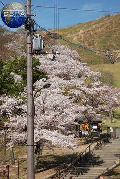 Japan. Photo by Klaudia Czarlińska. #japonia #japan #czarlińska #cspa #wakacje #holiday #travel #podróż #pink #blossom #azja #asia #日本 #blue #sky #natura #nature #mountains #tree #nature #natura #pink #spring #cherryblossom #hanami #flowers #park #asian #japanese #trip #voyage #beauty #polishgirl
