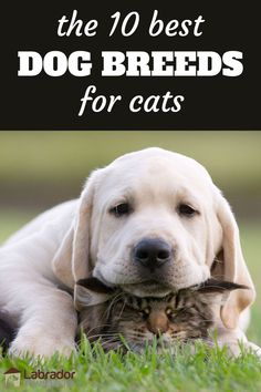 The 10 Best Dog Breeds For Cats - Yellow Lab puppy rests his head on top of cat. Cute Labrador Puppies, Labrador Breed, Cute Puppies, Retriever Puppies, Corgi Puppies, Top 10 Dog Breeds, Best Dog Breeds, Best Dogs, Golden Retrievers