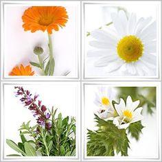 Domowy zielnik: Zioła dla oczu Medicinal Plants, Detox, Herbal Medicine, Hobbies, Healing Herbs