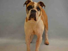 SAFE❤️❤️ 11/2/16 Manhattan center CEECEE – A1094250 NEUTERED MALE, BROWN / WHITE, BOXER / ENG BULLDOG, 6 yrs OWNER SUR – EVALUATE, NO HOLD Reason NO TIME Intake condition UNSPECIFIE Intake Date 10/21/2016, From NY 10463, DueOut Date 10/24/2016,