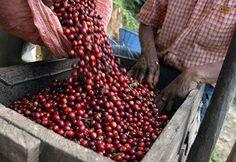 Giá cà phê tại Tây Nguyên đang tăng nhẹ hoặc ổn định