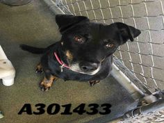 BLACKIE - A301433 - URGENT - San Antonio Animal Care Services in San Antonio, Texas - ADOPT OR FOSTER - 7 year old Spayed Female Rat Terrier Mix - at the shelter since June 24, 2017.