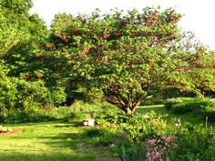 redbud trees with pods - Google Search