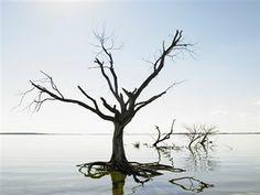 Dead Tree In Devil's Lake