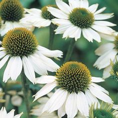 White Swan Coneflower Coneflower is an old favorite and can be completely neglected, they will grow anywhere in full sun. Even in poor soil. They also spread nicely.