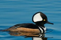 Hooded Merganser - These are so interesting!  We saw a couple of these at our local lake in Central East GA near the Savannah River area.