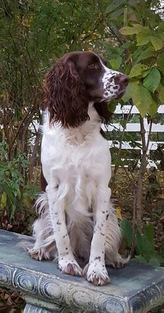 Dignified English spinger spaniel