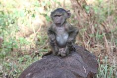 A (very alert) baboon baby! Just one of the many wild animals Busch Gardens' dedicated educators encountered during their 2-week expedition in Africa.