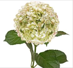 478738bbe3afe Jumbo Hydrangeas - Antique Green - Think these might make a pretty shade of  hydrangea.