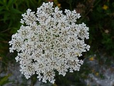 queen annes lace JELLY @ http://www.ediblewildfood.com/queen-annes-lace-jelly.aspx