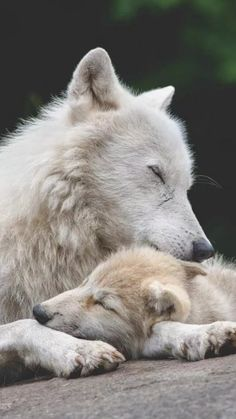 Wolf Mother And Baby Animal Photography Wolf Love, Animals And Pets, Baby Animals, Cute Animals, Strange Animals, Animals Images, Beautiful Creatures, Animals Beautiful, Tier Wolf