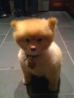 "LOOK! Another Pomeranian ""Paddington"""