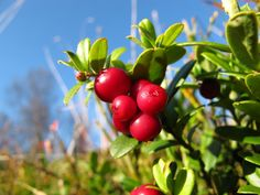 Cowberry | Flickr - Photo Sharing!