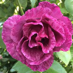 Rose, Rhapsody In Blue
