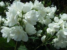 Pajazmín hybridný ´BOUQUET BLANC´ 40-60 cm, kont. 1 l - LUMIGREEN.sk - Váš obľúbený internetový obchod s rastlinami