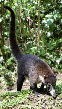 A coati, known locally as pizote, seen along the trails at Arenal Volcano near La Fortuna, Costa Rica.