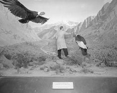 Working on Condor Group diorama, Birds of the World Hall, American Museum of Natural History, 1963