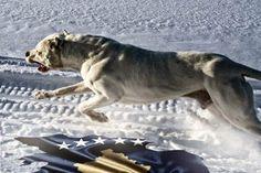 dogo argentino/ argentinian mastiff