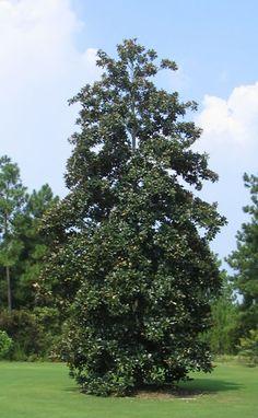 Tall Magnolia Grandiflora