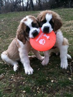 Have I mentioned that I love saint Bernards!!!!!! They're so cute!!!!!!!