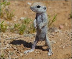 Little skinny desert squirrel - I would share my seed with him.