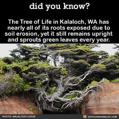 did you know? - The Tree of Life in Kalaloch, WA has nearly all of...