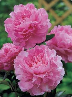 Peony Dr Alexander Fleming - have one of these if I didn't kill it. Dr Alexander, Peonies For Sale, Garden News, Bulbs For Sale, Peonies Garden, Pink Petals, Peony Flower, Gardens