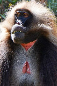 babThe gelada (Theropithecus gelada), sometimes called the gelada baboon and bleeding-heart baboon, is a species of Old World monkey found only in the Ethiopian Highlands,(wilkipedia)oon gelada Ethiopia_3685b