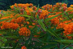 Butterfly Weed - Perennial - Full Sun. Planted from seed in 2014.