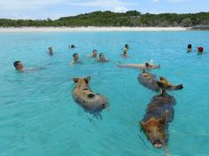 swimming with the pigs in Grand Exuma! LOVE