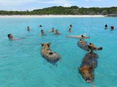 swimming pigs at exuma island, bahamas Exuma Island, Bahamas Island, Island Beach, Pig Beach Bahamas, Exuma Bahamas, Grand Exuma, Places To Travel, Places To See, Pig Island