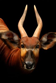 Bongo, Dignity by WildAtHeartPhoto, via Flickr