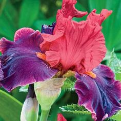Wearing Rubies Reblooming Tall Bearded Iris - Its upright standards are garnet rose while its ruffled falls are a bright, rich ruby. Adding to its richness is a slight musky fragrance. We love these uniquely coloured varieties, each bred for exceptional Iris Flowers, Exotic Flowers, Planting Flowers, Beautiful Flowers, Iris Garden, Garden Plants, Garden Oasis, Sun Perennials, Fall Plants