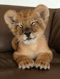 Cute little baby lion Cute Baby Animals, Animals And Pets, Funny Animals, Wild Animals, Big Cats, Cats And Kittens, Cute Cats, Beautiful Cats, Animals Beautiful