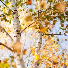 This looks like the birch trees on the North Shore of Lake Superior. Autumn Trees, Autumn Leaves, Autumn Fall, All Nature, Mellow Yellow, Mustard Yellow, Beautiful World, The Great Outdoors, Nature Photography