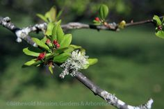 crabapple buds (Malus floribunda) decked with a pretty little lichen.