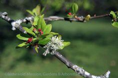 crabappl bud, malus floribunda, bud malus