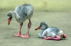 baby flamingos