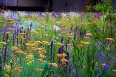 achillea and salvia at The Barbican, London - an urban garden oasis among brutalist architecture in the heart of Lndon