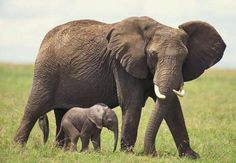 Elephant Life Documentary 2015 - The Borneo's Pygmy Elephant Documentary. Elephant Life, Most Endangered Animals, Wildlife Safari, Animal Magic, Game Reserve, African Elephant, Borneo, Cute Funny Animals, Animals